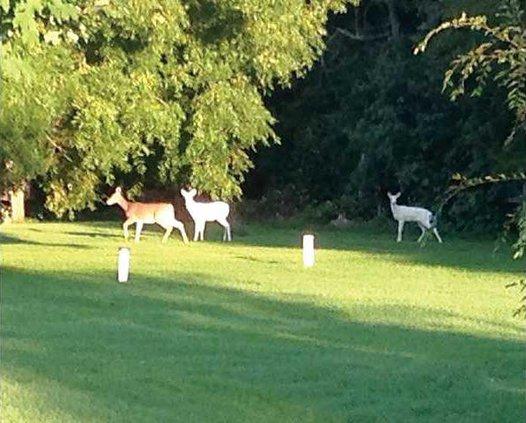 1B albino deer 2