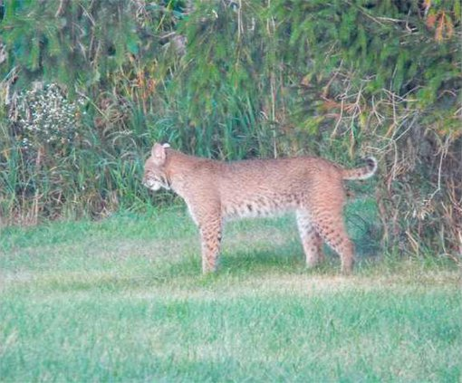 Bobcat side view