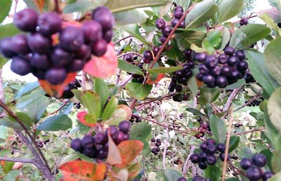 aronia berries 03