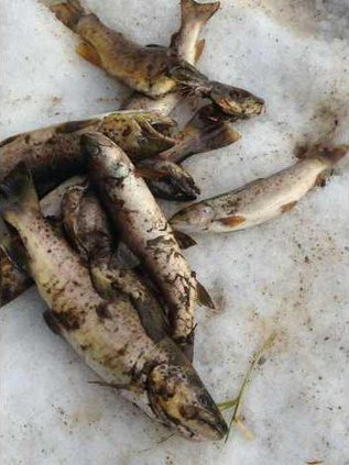 Dead trout