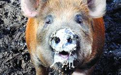 Pig in Spring